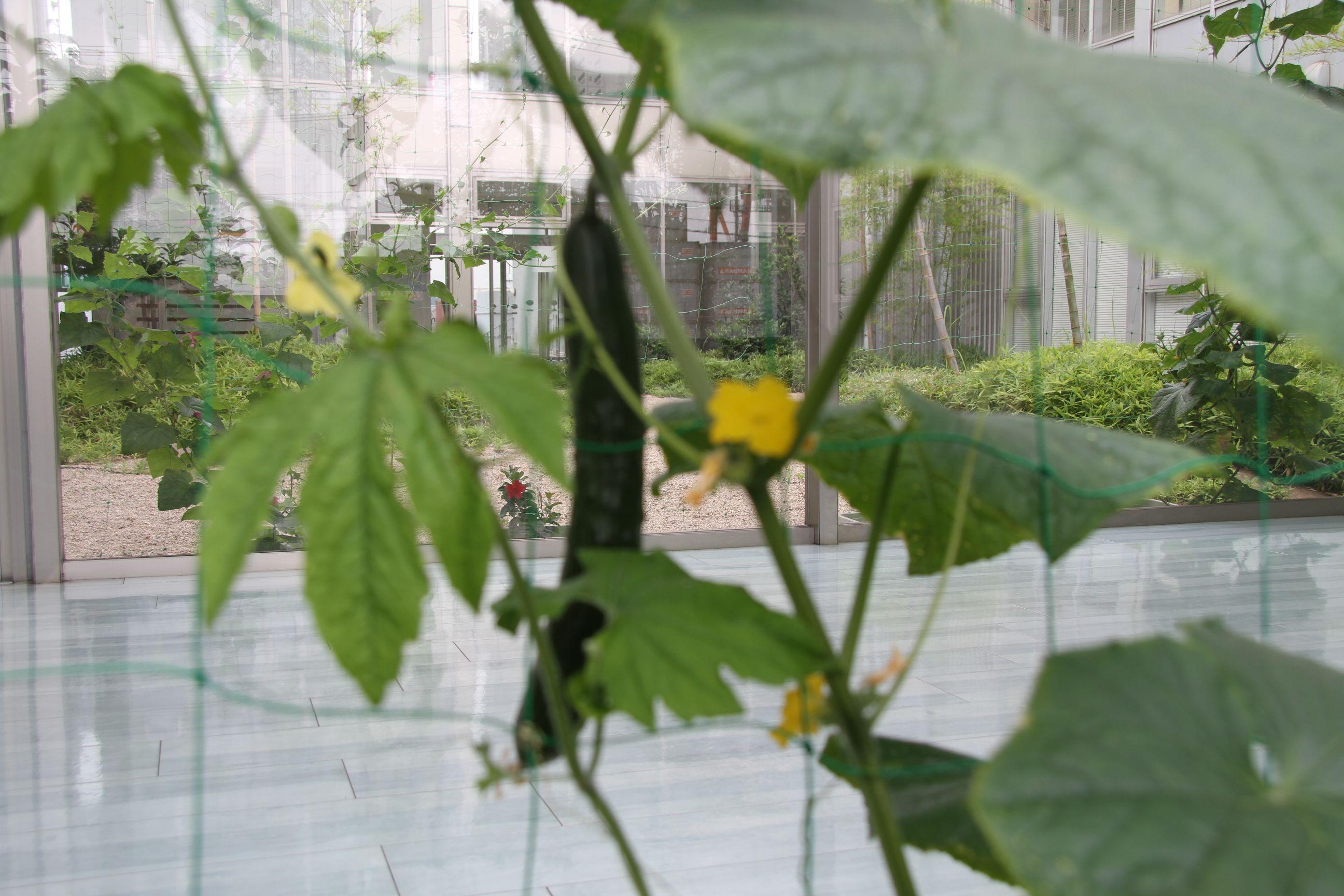 大きな葉をつけるきゅうりも成長中~緑のカーテン